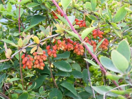 barberry: barberry bush