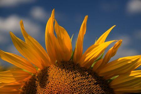 Sunrise. Sunflower Stock Photo - 3394986