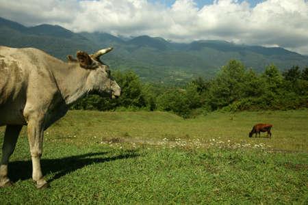 Picturesque summer landscape. Cows on pasture photo