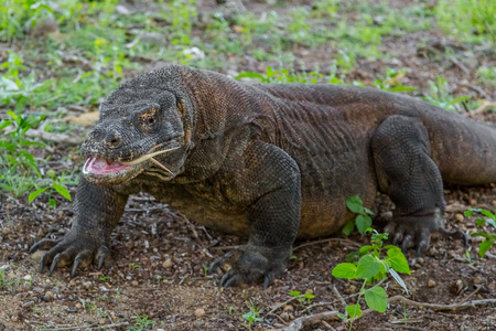 dragon swim: Island Komodo dragon with open mouth and tongue sticking out Stock Photo
