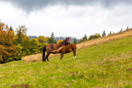 autumn horse: autumn. Horse feeds foal in an alpine meadow covered with grass on the background of yellow trees and cloudy sky Stock Photo