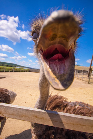 Ostrich head behind the fence against the background of the sky and clouds.