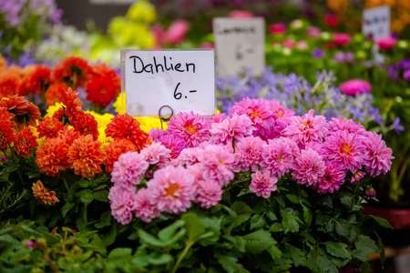 Purple and red dahlias for sale. Price tag. Stock Photo