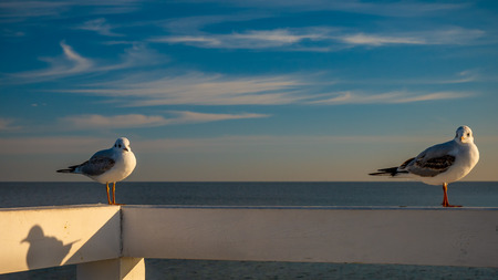 Closeup of two seagulls standing on a wooden fence in Sopot, Poland.