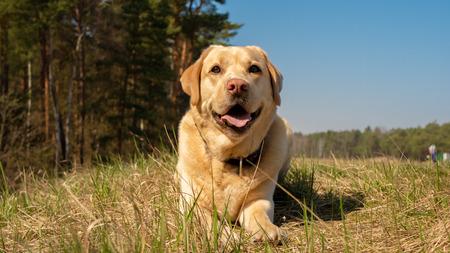 Labrador Retriever smiles and being happy. Meadow.