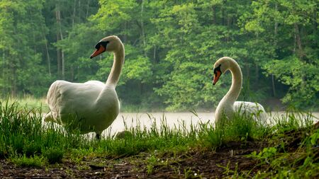 A beautiful white swans on the shore of the lake.