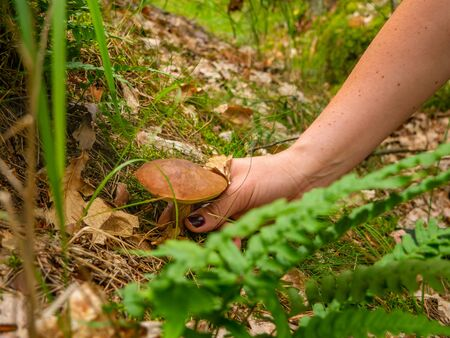 Picking healthy mushrooms  fungus in the forest. Mushrooms are growing in warm green and wet moss layer.