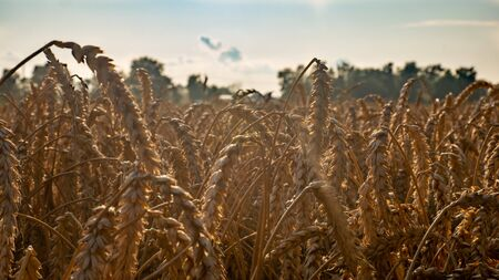 Golden ears of wheat on the field in sunlight flares.