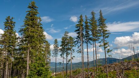 View of trees and tree trunks with cloudy sky in Giant Mountains  Karkonosze. Poland. Фото со стока