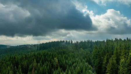 Green forest of pine tree.