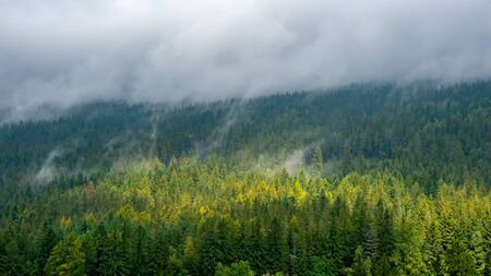 Misty landscape with fir forest.