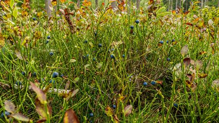 Blueberry twig in a summer forest. Natural habitat. Фото со стока