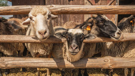 Sheep standing behind a wooden fence. Stock Photo
