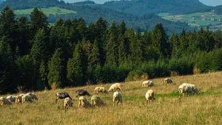 A flock of sheep on a mountain