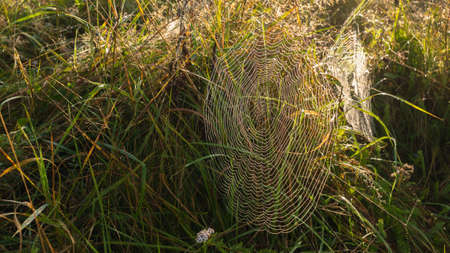 Spider web early in the morning at dawn in the forest