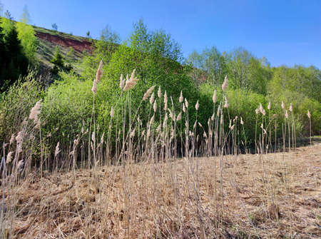 marshy meadow with tall grass near the slope with green trees against a blue sky