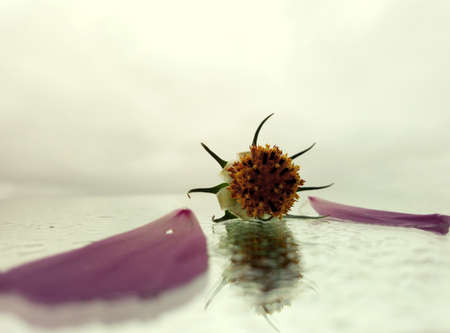 the final beauty of a flower that lies on a wet surface against a gray sky in creative photography Stock Photo
