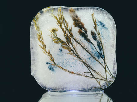tender spikelets frozen in a cold ice cube in the dark in creative and abstract photography