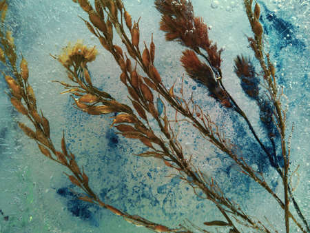 spikelets with blue paint frozen in ice in abstract macro photography