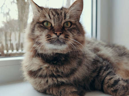 a fluffy cat with a stern look lies on the windowsill