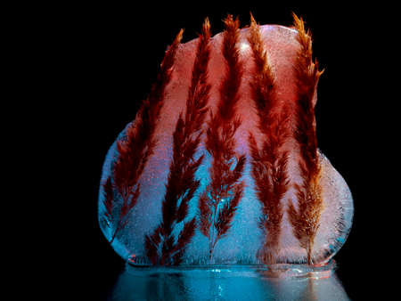 spikelets froze in ice illuminated in the dark Stock fotó