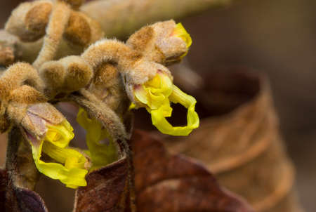 Yellow Witch Hazel buds just starting to blossom in early winter. Stock Photo