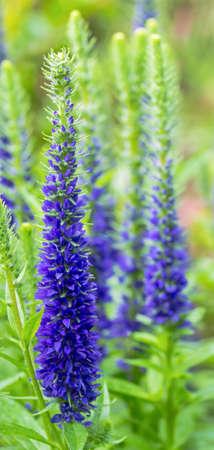speedwell: Spikes of blue Speedwell in a garden. Stock Photo