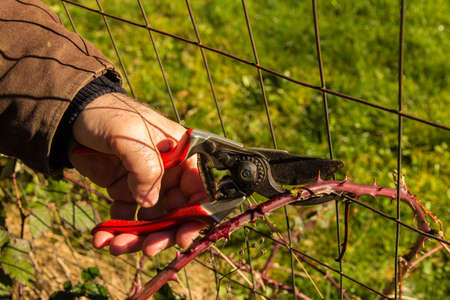 Man pruning back a thorny blackberry cane