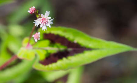 strikingly: Tiny flowers of the Fleece Flower plant hover above the strikingly stiped leaf