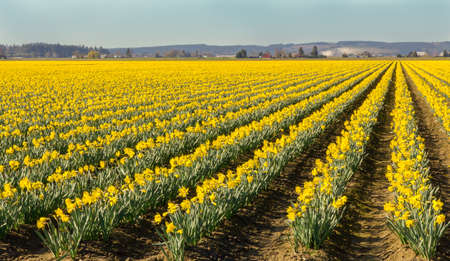 Early daffodils in Skagit County, Washington, with a vanishing point to the right.