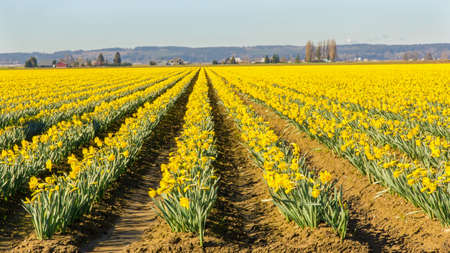 converge: Daffodils in Skagit Valley, Washington State Stock Photo