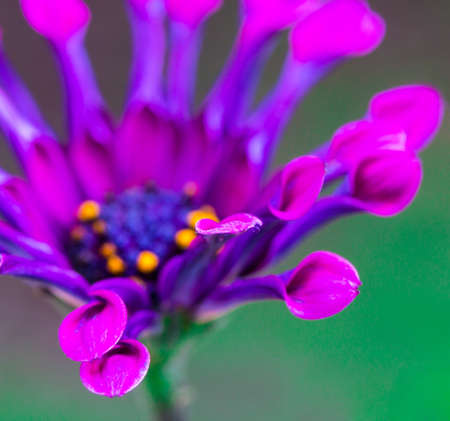 african daisy: Macro of the spoon-shaped petals of this African Daisy known as Osteospermum