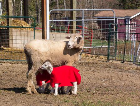 Mama sheep nurses her two young lambs Reklamní fotografie