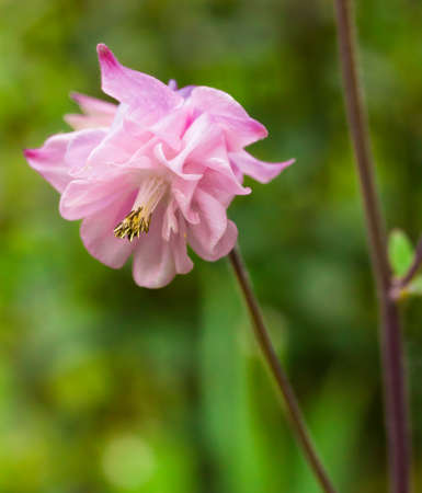 pink columbine: Closeup of Pink Double Aquilegia with room for text Stock Photo