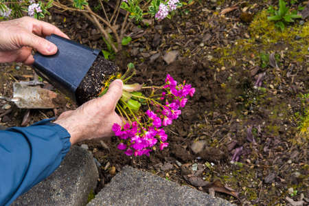 removing: Man taking a flowering Lewisia out of a pot before planting it in the garden. Stock Photo