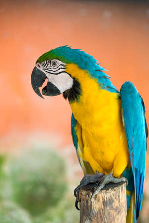 Blue, green and yellow plumage macaw parrot perched on a stick. Colombia.