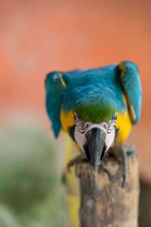 Colorful macaw parrot, typical of South America Banque d'images