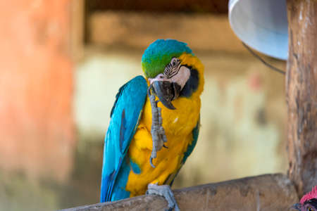 Macaw parrot on a stick scratching its head in the courtyard of a country house. Colombia