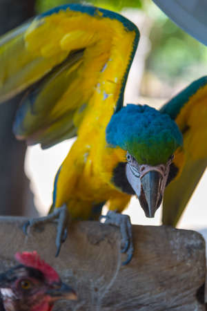 Blue and yellow macaw parrot with wings up