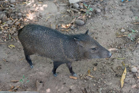 Peccary in a nature reserve park in Colombia Stock fotó
