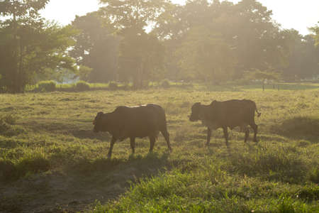 Cows with sun against light grazing on a farm in the department of Santander. Colombia.