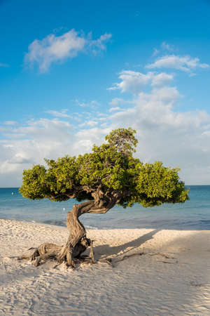 Divi Divi tree on the island of Aruba. Netherlands Antilles