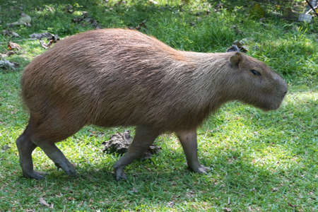 Capybara largest rodent in the world in a natural park in Colombia 写真素材