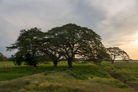 Cows farm landscape with leafy trees sunset. Colombia 写真素材