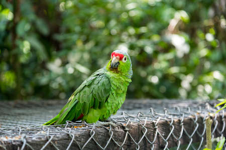 Parrot perched on a large cage, with a tropical forest background. Colombia 写真素材