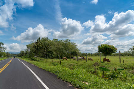 Cows grazing on the edge of a two lane asphalt highway in colombia