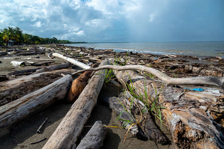 Tree trunks carried by the ocean current to a beach in the Gulf of Uraba. Colombia. 写真素材