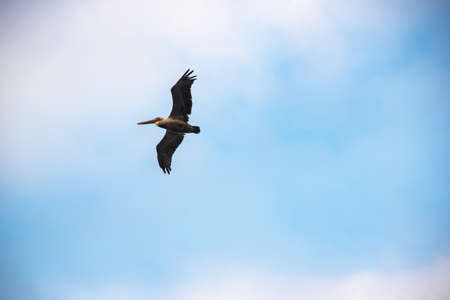 Pelican flying in a blue sky off the coast of the Colombian Pacific Ocean.