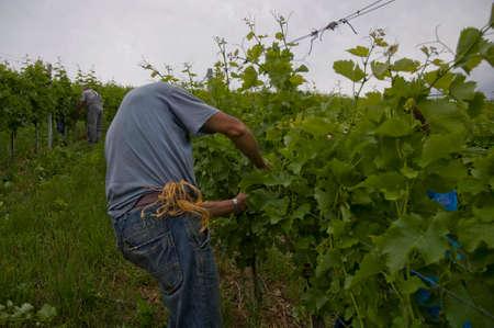 vine cutting on a vineyard