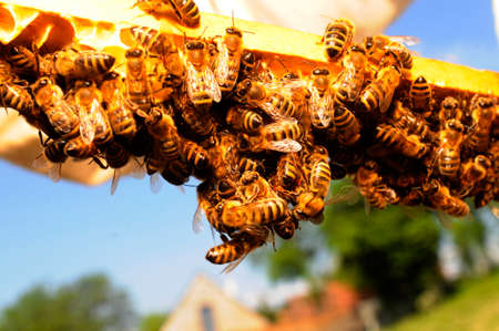 Honey comb with honey bees Banque d'images